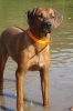 Rhodesian Ridgeback, 1 year old, Black mask red wheaten